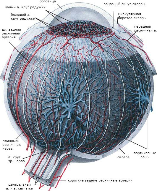 Сосудистая оболочка глаза строение и функции